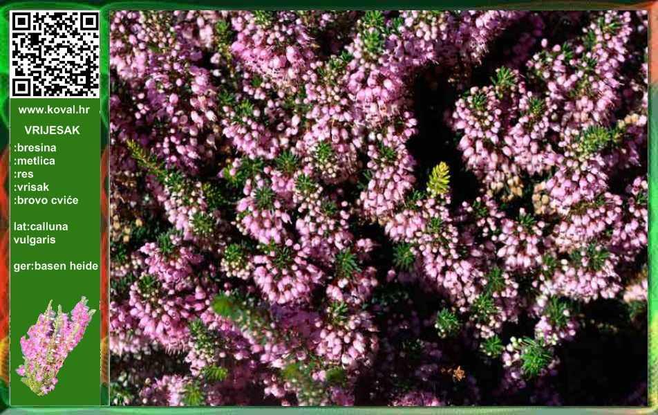 KOVAL-LJekovito bilje